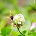 ハチとシロツメクサ1
