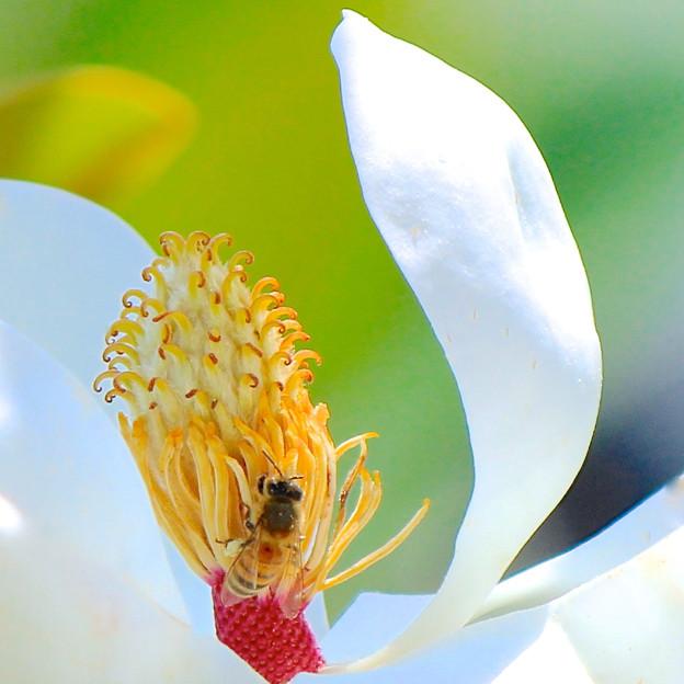 泰山木と蜂