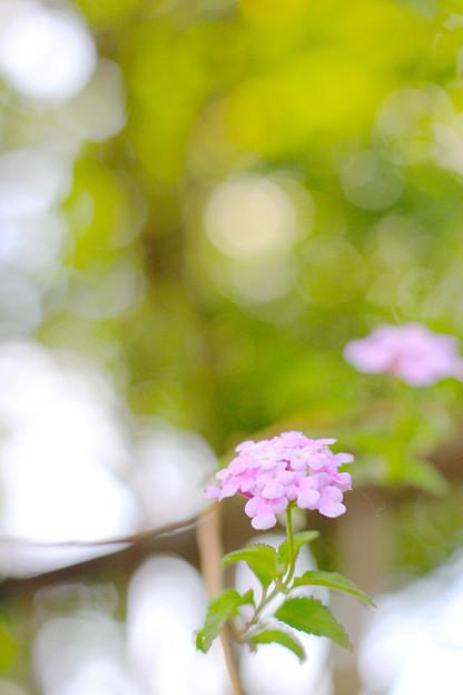 花と玉ぼけ ランタナ