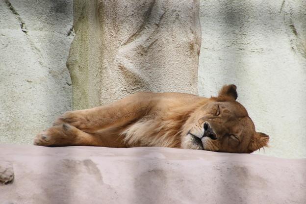 Photos: ライオンの昼寝