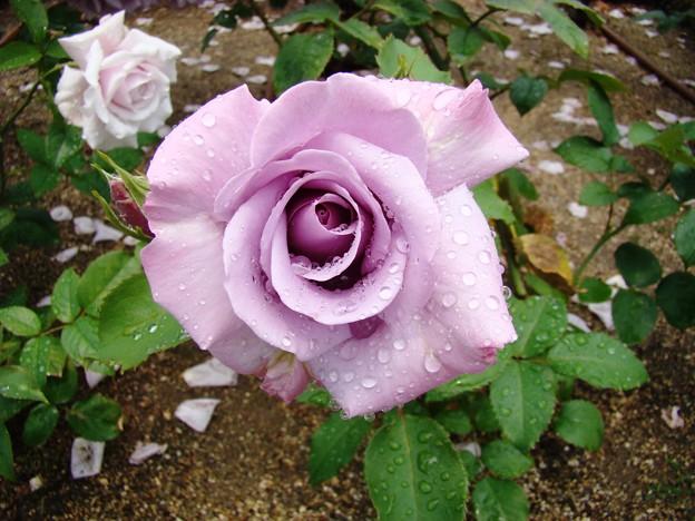 写真: 紫のバラ