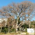 瀧神社のケヤキ
