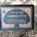 No.70号 人見稲荷神社のヤブツバキ
