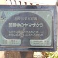 No.11号 誓願寺のヤマザクラ