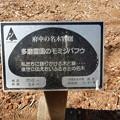 No.81号 多磨霊園のモミジバフウ