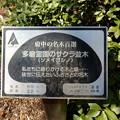 No.88号 多磨霊園のサクラ並木(ソメイヨシノ)