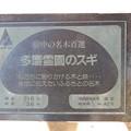 No.42号 多磨霊園のスギ