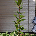 写真: 月桂樹(ローリエ)の苗