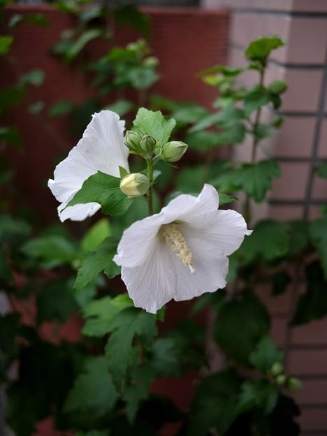 写真: 白いムクゲ咲く