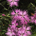 Photos: 東慶寺紫の花20160612