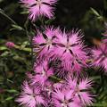 東慶寺紫の花20160612