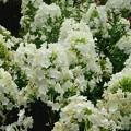 白色の花魁草