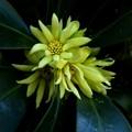 黄色い花の咲く木(シキミ)
