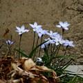 70ニラ花