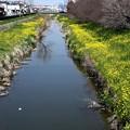 川越菜の花の小川