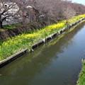 川越菜の花風景