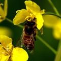 菜の花のミツバチ2