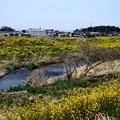 菜の花一杯の小畦川(川越市)