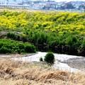 写真: 川沿の菜の花畑