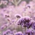 紫フェチ倶楽部