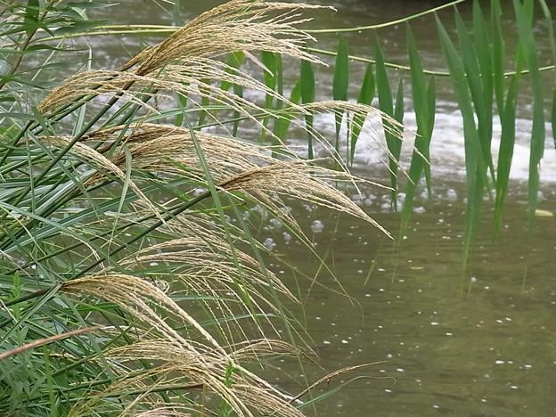 池に傾く尾花