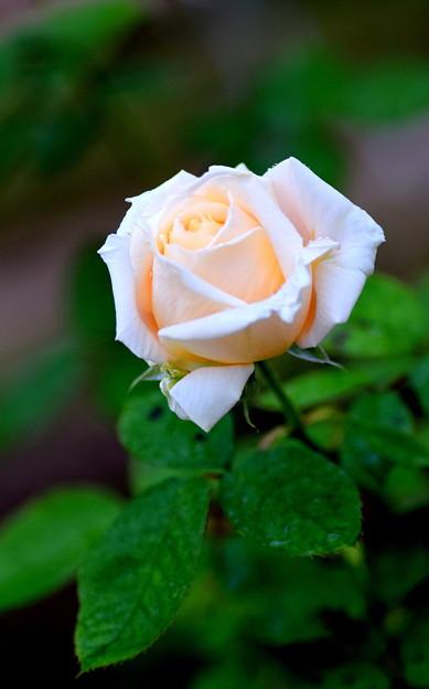 湧永庭園バラ4