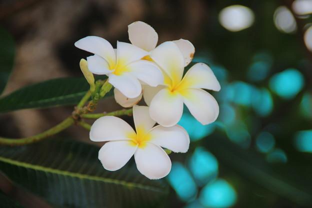 南国の花「プルメリア」