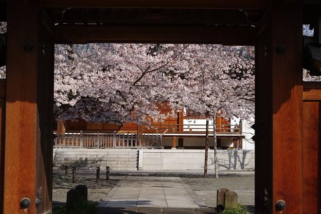 正門から眺める桜