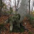 秋深まるブナ林3