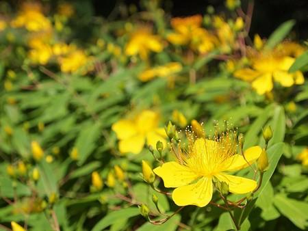 黄色の花 (3)