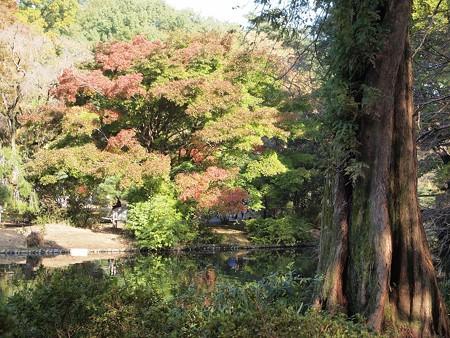 日立中央研庭園 メタセコイアとモミジ