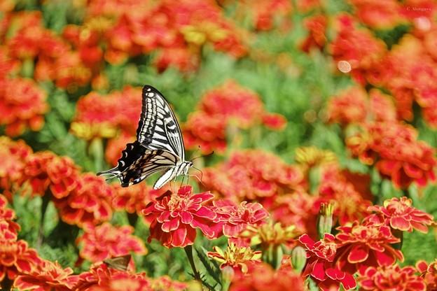 マリーゴールドとアゲハチョウ。