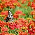 写真: マリーゴールドとアゲハチョウ。