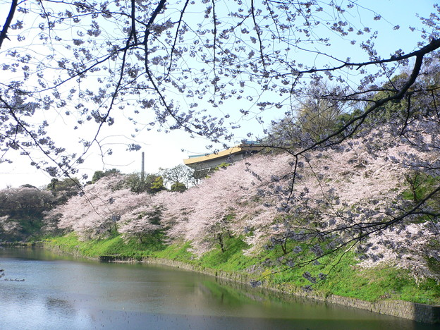 Photos: 100408 日本武道館の桜1