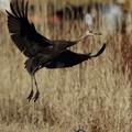 ナベ鶴 幼鳥(4)