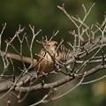 百舌鳥の早贄3(4)