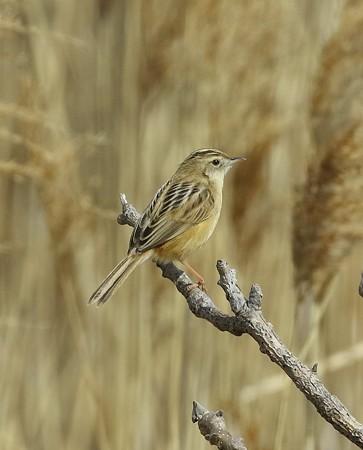 野鳥(1094)−セッカ、未だ縄張り宣言なし