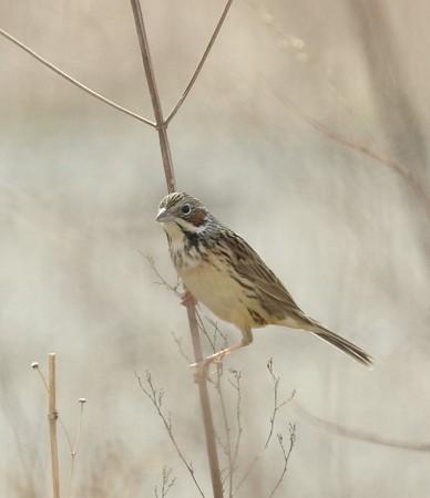 野鳥(1095)−ホオアカ、逆光の中