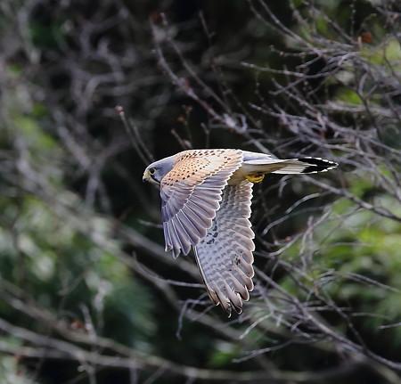 チョウゲンボウ 飛翔(4)