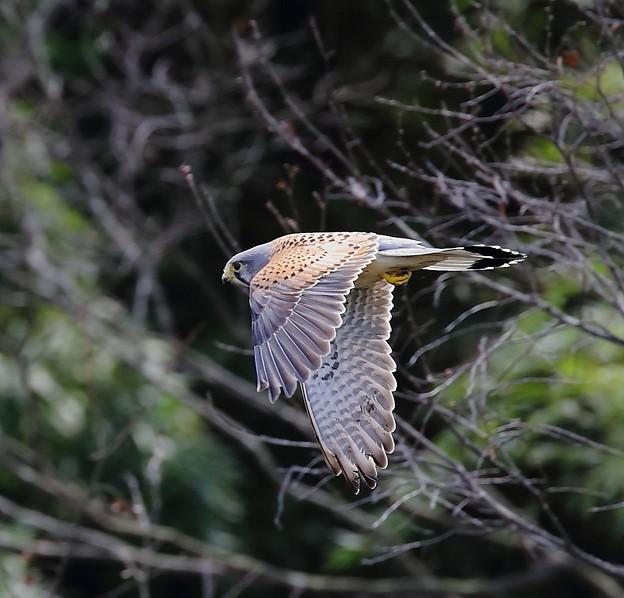 写真: チョウゲンボウ 飛翔(4)
