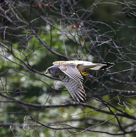 チョウゲンボウ 飛翔(3)
