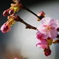 写真: 塩釜神社の河津桜