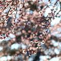 写真: 桜吹雪2