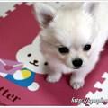 チワワ子犬(アンナ・かのん子犬)オーナー様募集♪【7月31日】