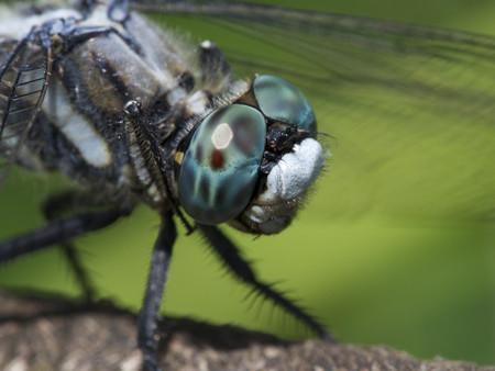 シオカラトンボの目