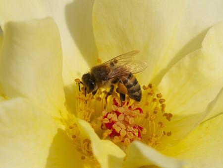 蜂蜜色の薔薇の上