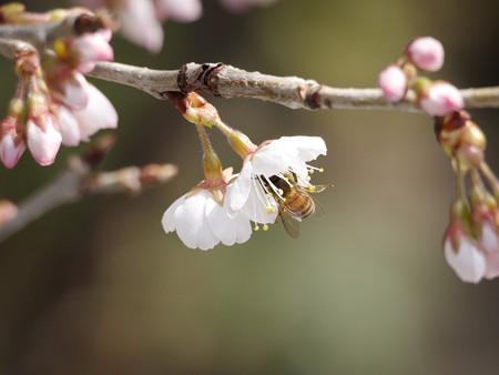 桜とミツバチ(2)