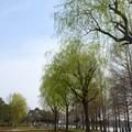 Photos: 三郷公園の青柳