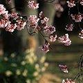 小石川植物園のカンザクラ