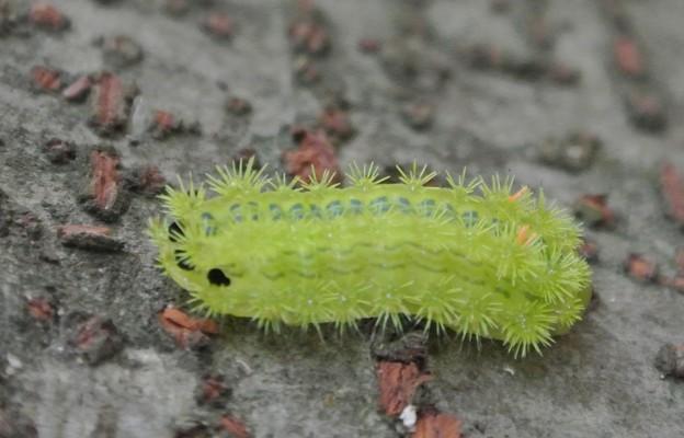 イラガの幼虫 (2)